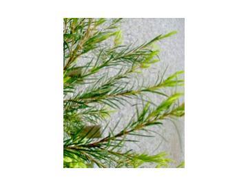 Teebaum ätherisches Öl 10ml